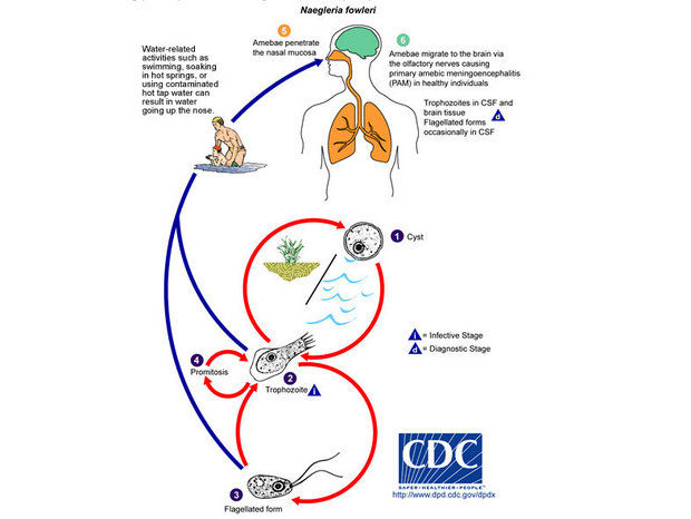 The Naegleria fowleri pathogen and life cycle (Centers for Disease Control and Prevention)