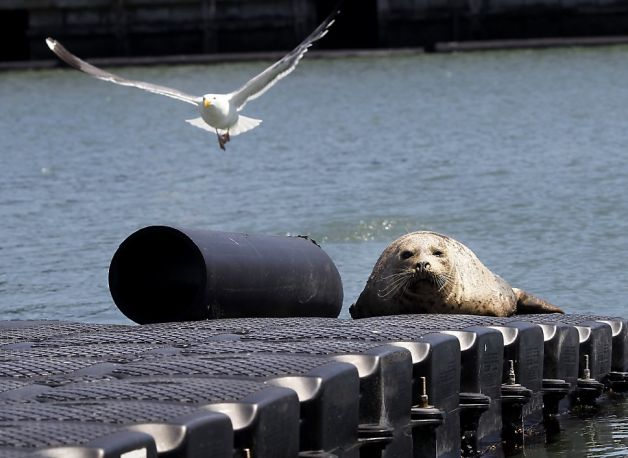 Contaminant Chemical Affect San Francisco Bay Seals
