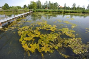 (Photo credit: Zoonar GmbH/Alamy) Algae pollution in a lake in Schlehdorf, Germany.