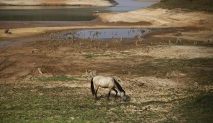 A horse grazes on the cracked ground of the Atibainha dam as it dries up due to a prolonged drought in Nazare Paulista, São Paulo state, Oct. 17, 2014. Hit by Brazil's worst drought in 80 years, the two main reservoirs serving metropolitan São Paulo, South America's largest city, could dry out this year if relief does not arrive in the coming rainy season. (Photo credit: Reuters )