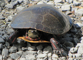 Wetland Pollution Turtles
